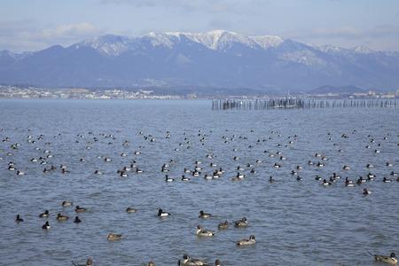 water birds: Water birds of Lake Biwa