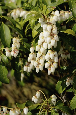 andromeda: Andromeda flowers Stock Photo