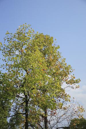 sicomoro: Sycamore che ha iniziato colorato