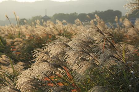 Japanese pampas grass and hokki-ji Stock Photo