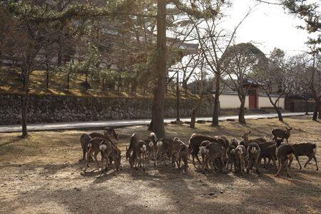 todaiji: Deer of Todaiji back Stock Photo