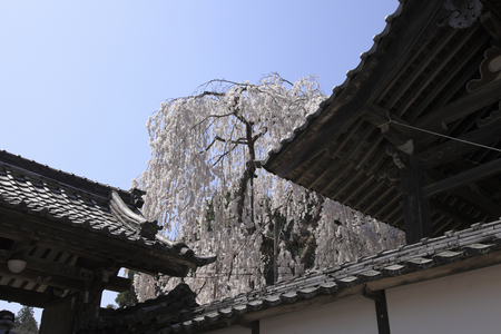 weeping: Onodera temples weeping cherry tree