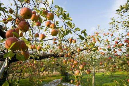 リンゴの木 写真素材