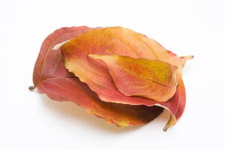 dogwood: Leaves of dogwood