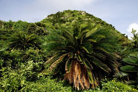 cycad: Mountain of cycad