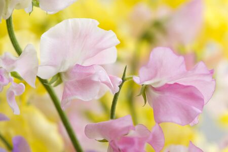 sweet pea: Sweet pea Stock Photo