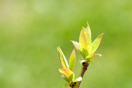 young leaves: Blueberry of young leaves