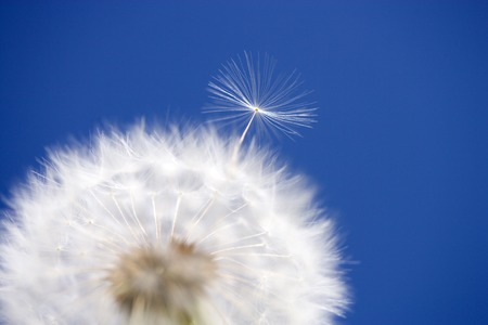 sweet grasses: Dandelion fluff Stock Photo