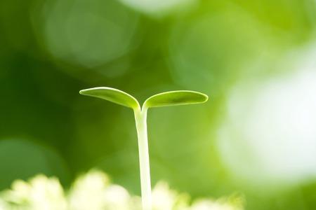 germinaci�n: La germinaci�n de girasol