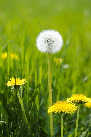 sweet grasses: Dandelion fluff Stock Photo