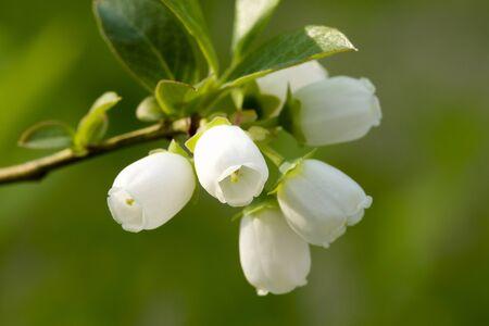 ブルーベリーの花です。
