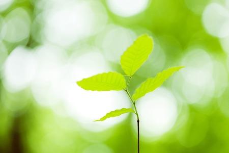 seedlings: Seedlings of beech