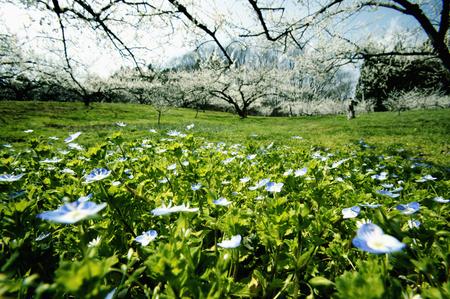 veronica flower: Wildflower blooming in Umehatake Stock Photo