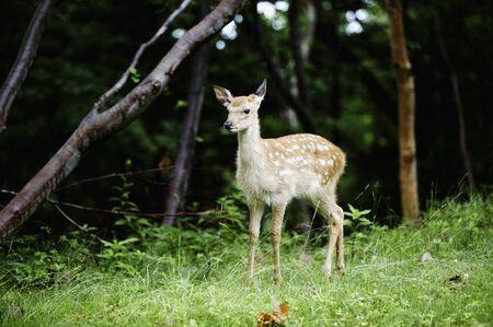sika deer: Child of sika deer Stock Photo