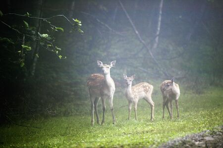 sika deer: Mother and child of sika deer