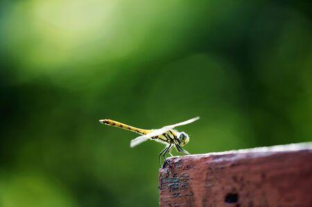 living organisms: Dragonfly