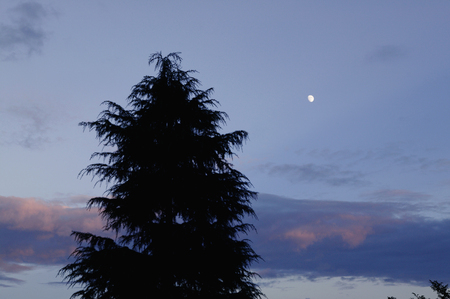 cedars: Cedars and the moon