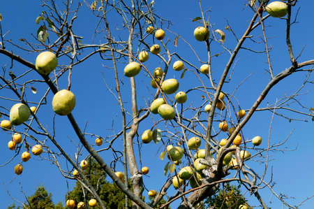 membrillo: Fruto de membrillo