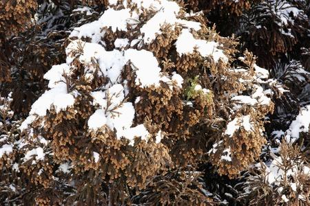 fever plant: Cedar real