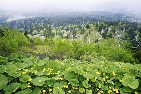 butterbur: Dandelion and butterbur