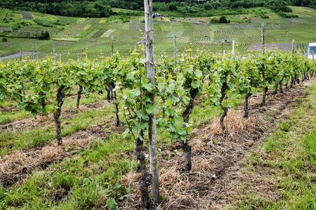 riesling: Moselle region of vineyards