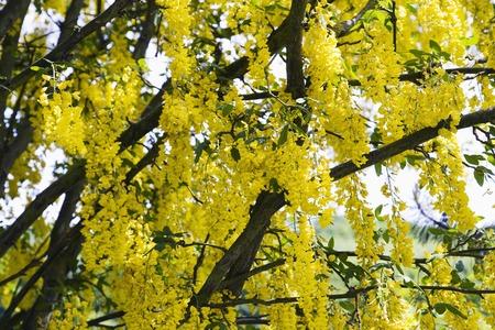 legume: Legume yellow flower