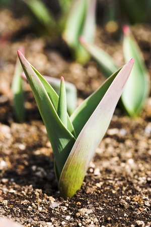 young leaves: Young leaves of a tulip