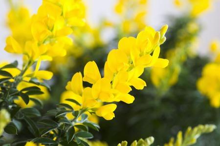 escoba: Flor de escoba Foto de archivo