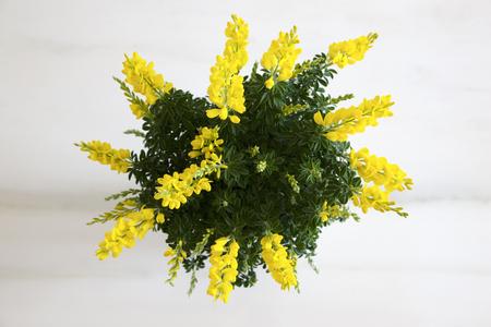 ほうきの花