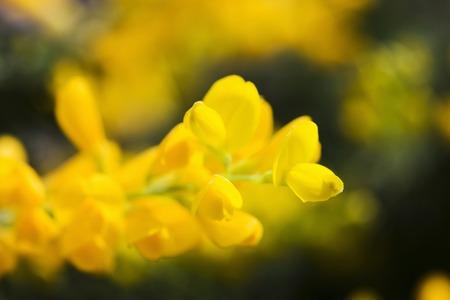 broom: Broom flower