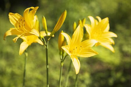 day lily: Day lily flowers Stock Photo