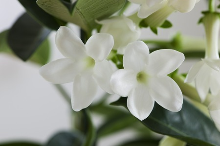 Jasmine flores