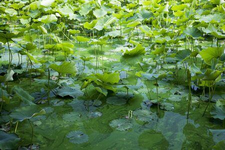 ロータスと緑の藻 写真素材