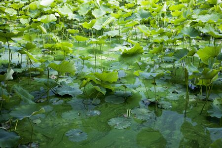 green algae: Lotus and green algae