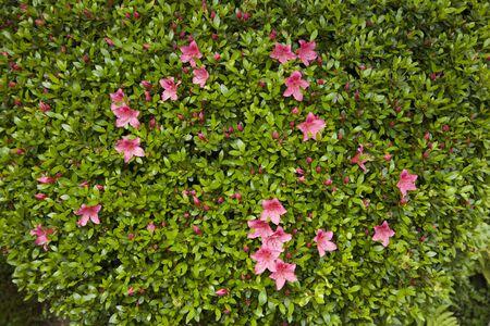 azalea: Azalea flowers Stock Photo