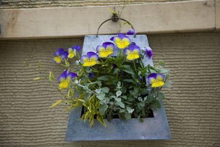 planter: Viola of hanging planter