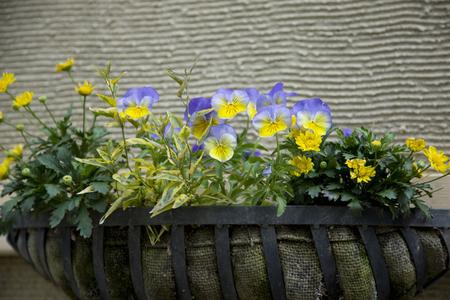 planters: Viola and Chrysanthemum Stock Photo