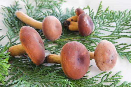lactarius: Natural mushroom Lactarius volemus Stock Photo