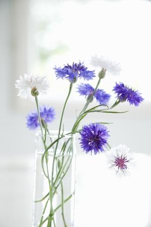 cornflower: Cornflower blossoms