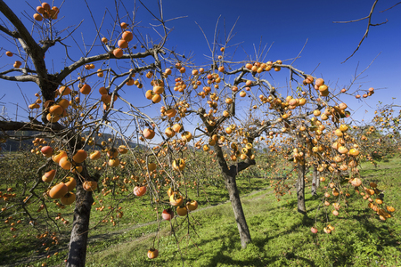 astringent: Persimmon fruit Stock Photo