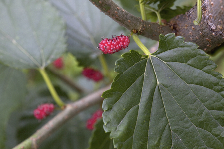 riped: Mulberry tree nuts