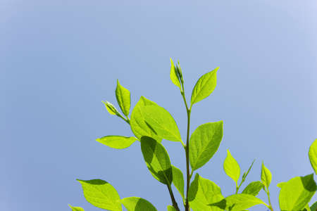 young leaves: Young leaves of Styrax
