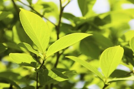 young leaves: Young leaves of Stewartia Pseudocamellia