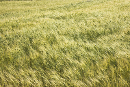waver: Barley that is fluttering in the wind