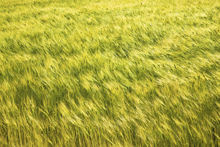 wavering: Barley that is fluttering in the wind