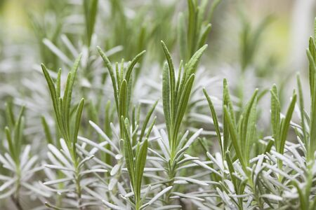 young leaves: Lavender of young leaves