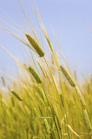 grain fields: Minoru barley Stock Photo