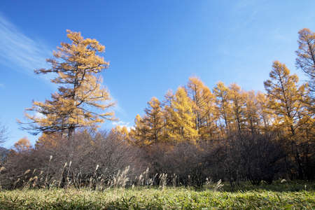larch: Yellow leaves of larch forests