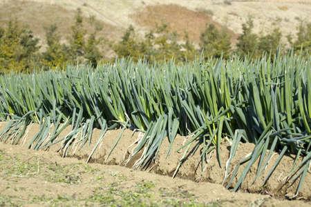 green onion: Green onion field