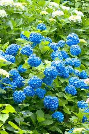 mass flowering: Hydrangea